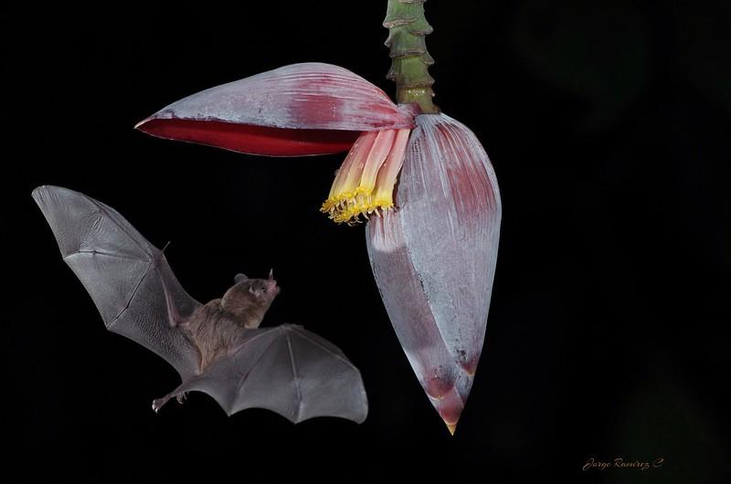 Estudio indica que Covid-19 proviene, probablemente, de murciélagos